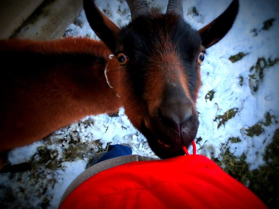 Mountain Goat Lodge: The goats are friendly!