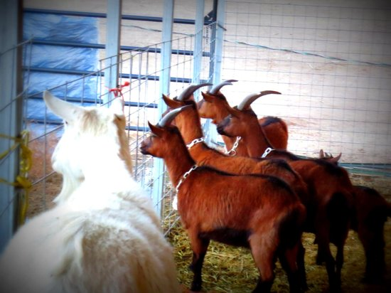 Mountain Goat Lodge: The goats curious about our dogs.