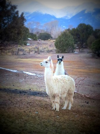 Mountain Goat Lodge: Alpaca and llama and the beautiful backdrop.