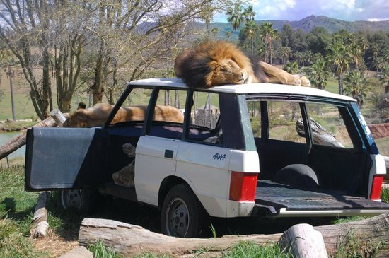 Escondido, CA: Lion exhibit.