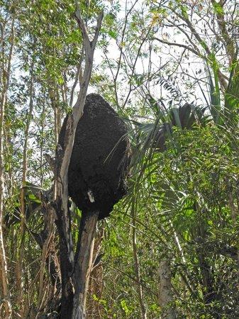 Península de Zapata National Park : Termitenbau im Baum, Sensation.