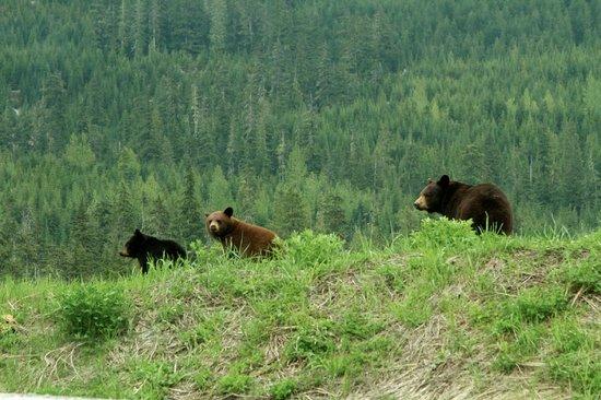 Whistler Eco Tours : Love the bears