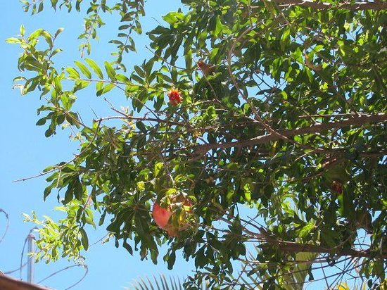 Ritchie 88 : Pomegranate on tree