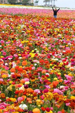 Carlsbad Flower Fields Picture