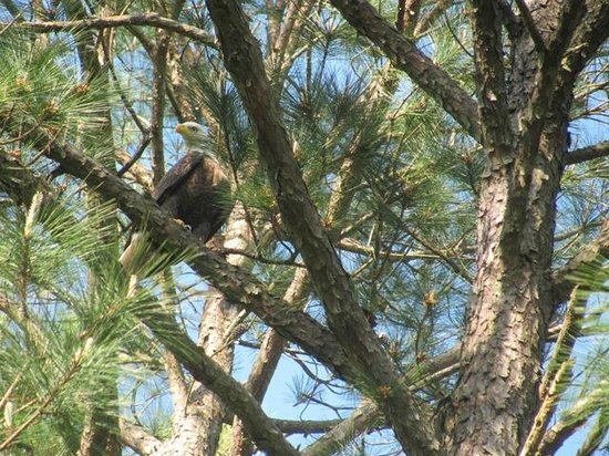 Lake Wateree State Park: a bald eagle on the lake