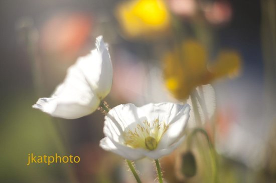 Lamp Liter Inn: poppies in bloom