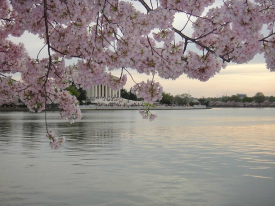 Sofitel Washington DC: Cherry Blossoms in bloom during my visit