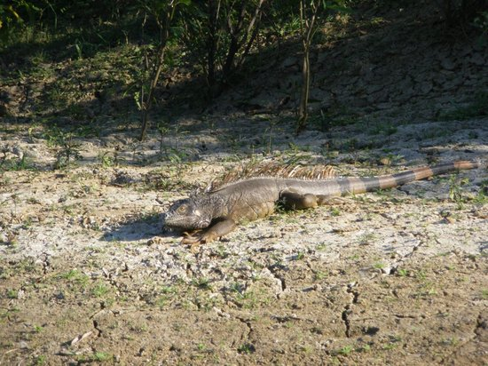 Nature Resort: Iguane
