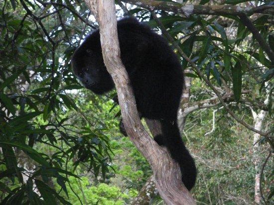 Nature Resort: singe hurleur