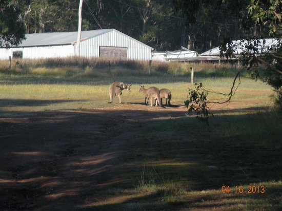 Hunter Hideaway Cottages: Kangaroos within 25 meters of the cottage.