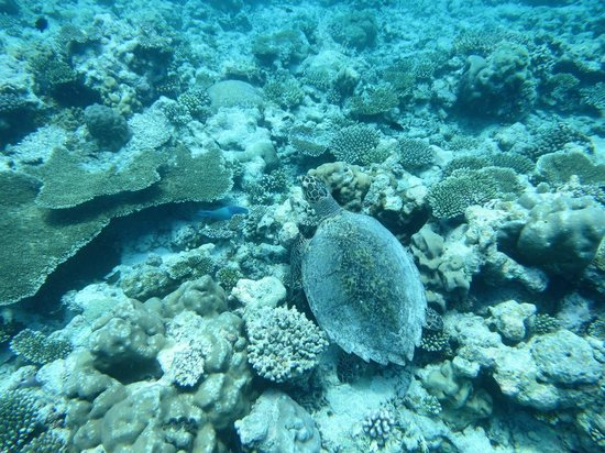 Vakarufalhi Island Resort: Reef turtle