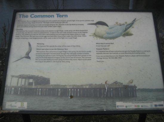The Torpedo Platform: The Common Tern