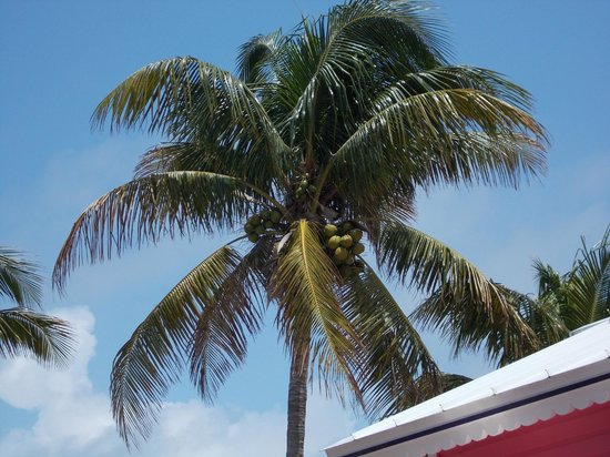 Da Conch Man : Coconut palm tree next door.