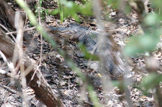 Fakahatchee Strand Preserve State Park & Boardwalk: An alligator!