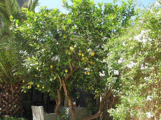 Casa Bougainvillea: Lemon tree...very pretty