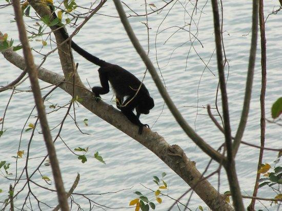 Pacific Bay Resort: Howler Monkey at Pacific Bay