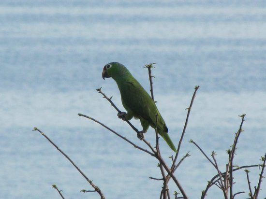 Pacific Bay Resort: Parrot at Pacific Bay