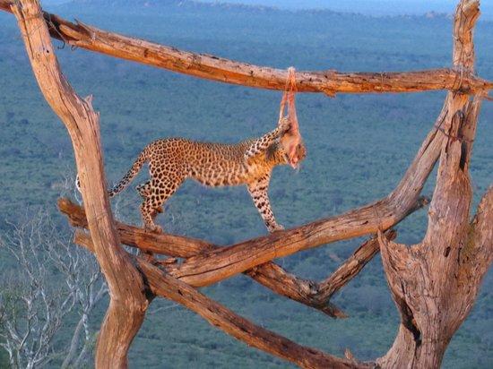 Baobab Beach Resort & Spa: Ngulia Lodge Leopard