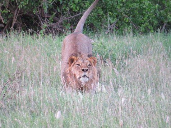 Baobab Beach Resort & Spa: Lion