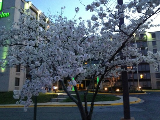 Holiday Inn Washington DC / Greenbelt: Flowering fruit tree in front of Holiday Inn