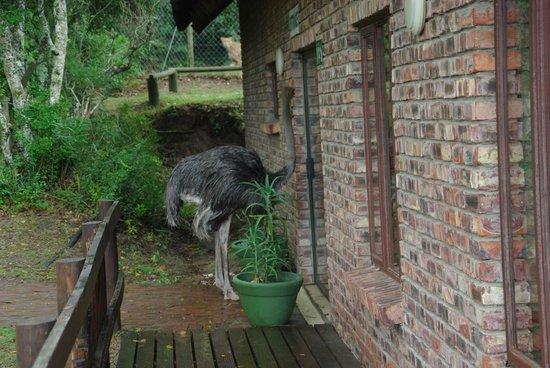 Kragga Kamma Game Park: An ostrich wanting a cup of tea