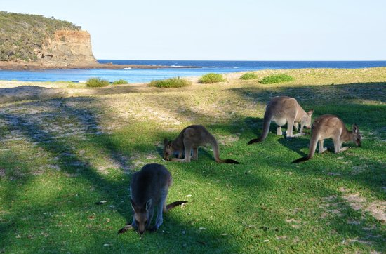 Mollymook Beach Waterfront: Kangaroos on Pebbly Beach - worth a visit
