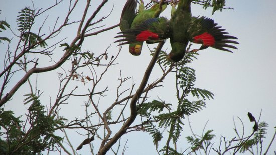 Occidental Papagayo - Adults only: Amazing wildlife at this resort, these parrots came in every night!