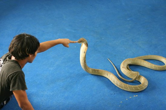 Ao Nang, Tailandia: Touching the nose of a King Cobra