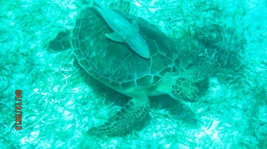 Crystal Cove Beach Resort on Sapphire Bay: Turtle staright out from B-11!