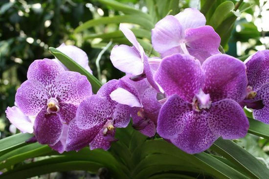 dark purple orchids  picture of national orchid garden, singapore, Beautiful flower