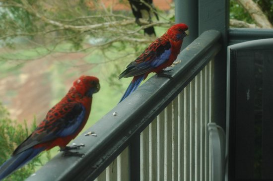 Bunya Mountains Accommodation : Crimson rosellas