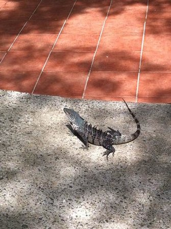 Jungle Beach Hotel at Manuel Antonio: iguana
