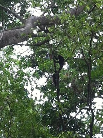 Jungle Beach Hotel at Manuel Antonio: howler monkeys