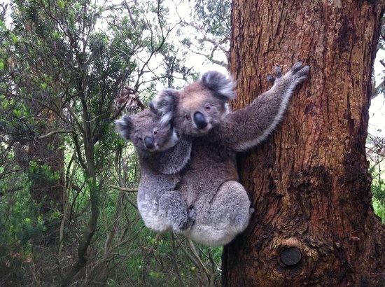 Bimbi Park - Camping Under Koalas: Koala