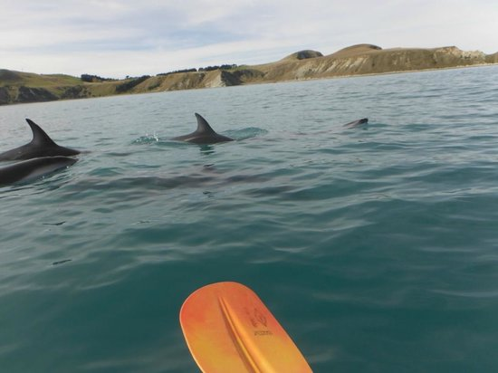 Kaikoura Kayaks: Some of the many friendly dolphins