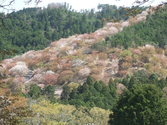 Mt. Yoshino: 中千本の桜