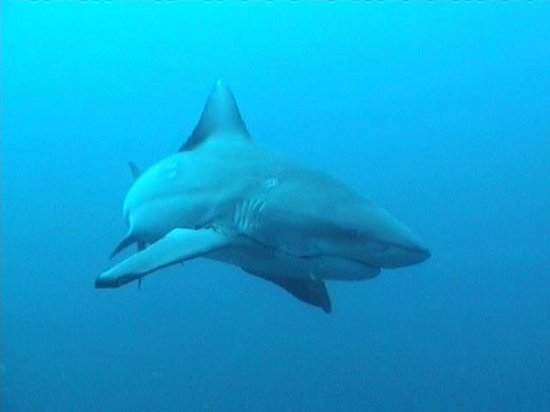 Shelly Beach, South Africa: Large Zambezi, (bull shark) following the group