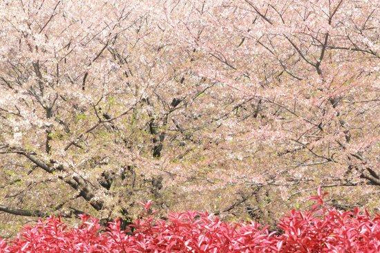 Kiba Park: 桜が美しい木場公園