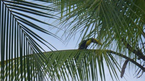 Hotel Los Almendros : De Toekan in de palm bij het zwembad