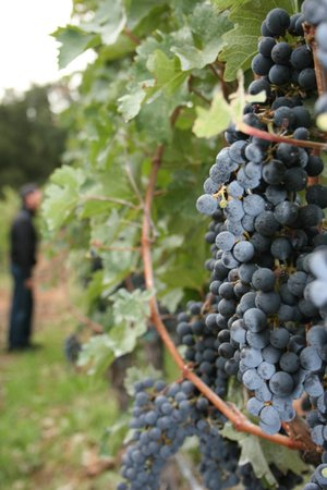 The Wine Country Inn: First week of October...Grapes as far as the eye can see!