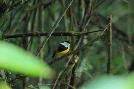 Moonracer Farm Lodging & Tours: Manakin right outside our cabin!!