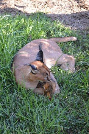 Tenikwa Wildlife Awareness Centre: Caracol having his dinner
