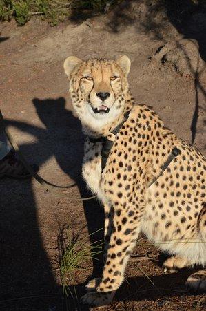 Tenikwa Wildlife Awareness Centre: Zeus