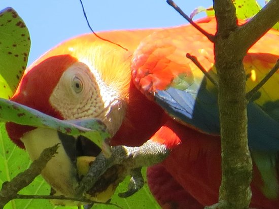 Cano Island: Macaw in tree during the lunch