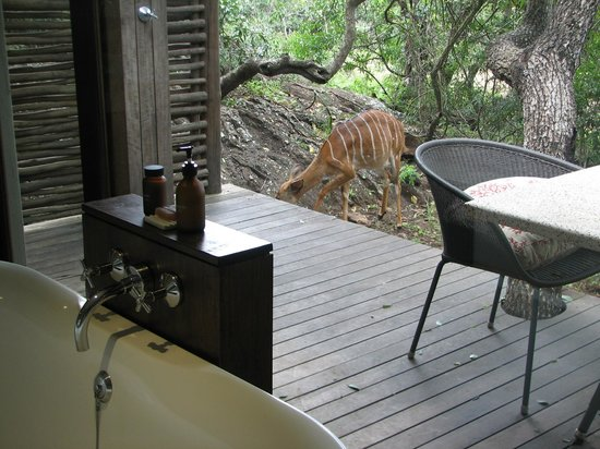 andBeyond Phinda Mountain Lodge: Nyalas are close to the room