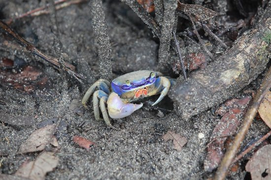 Playa Chiquita Lodge: Blue crab on the lodge grounds