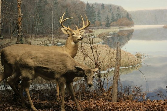 Nova Scotia Museum of Natural History: Deers