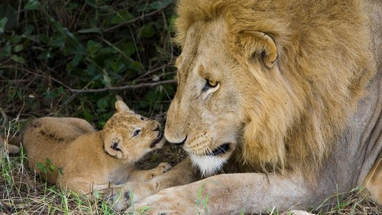 Chantilly's Lake Taupo : Lion and cub