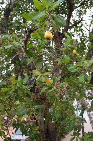 Tipple Tree Beya: Cashews fruit