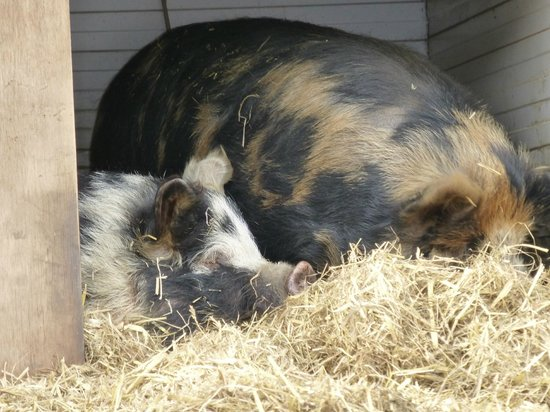 Berrys Farm Shop & Cafe: Kunekune pigs